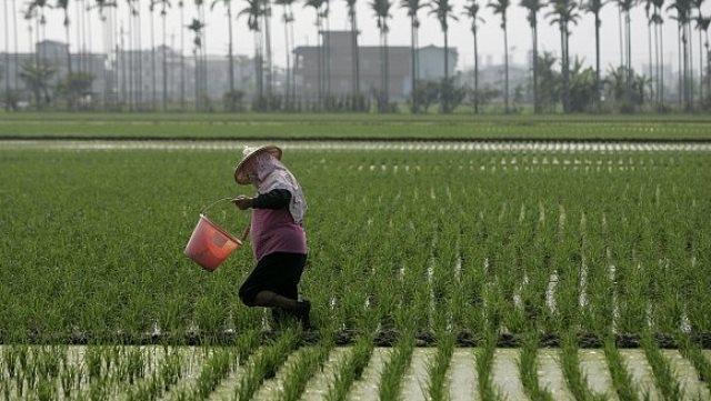 مزارعون موريتانيون يحسنون خبرتهم في زراعة الأرز