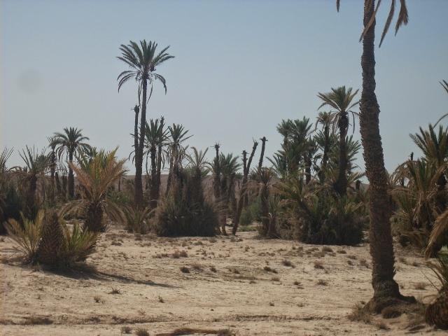 تراجع في إنتاج التمور  في منطقة ورزازات بسبب تأثير سنوات  الجفاف