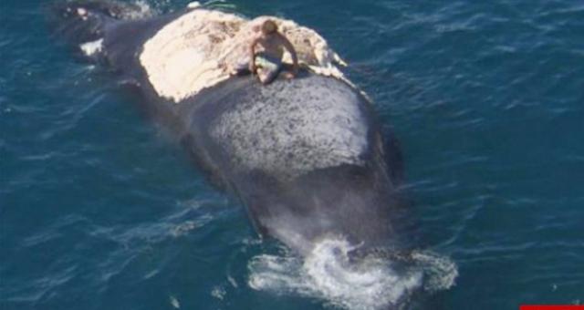 بالصور: أسترالي يسبح بين أسماك القرش لينقذ حوتاً