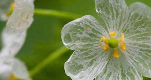 زهرة بيضاء تصبح شفافة في المطر
