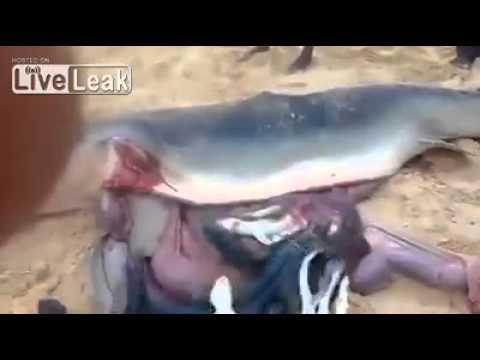 أسماك حية في بطن القرش