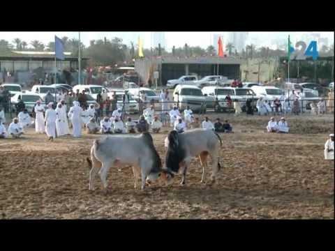 مصارعة الثيران في الامارات