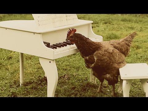 طريقة ذكية لجعل دجاجة تعزف على البيانو