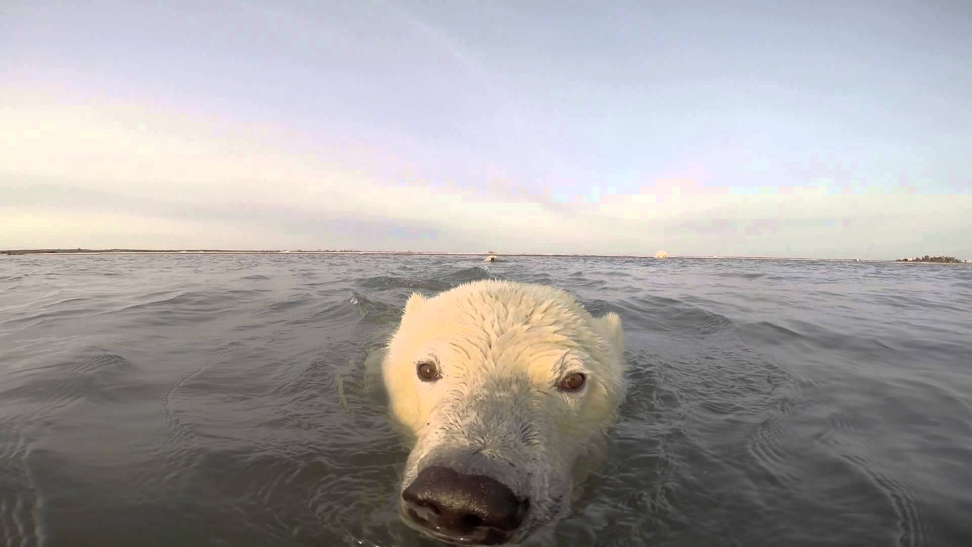 دب قطبي يحمي حدوده