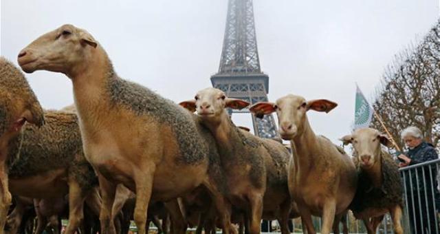خراف تتظاهر أمام برج إيفل احتجاجاً على هجمات الذئاب