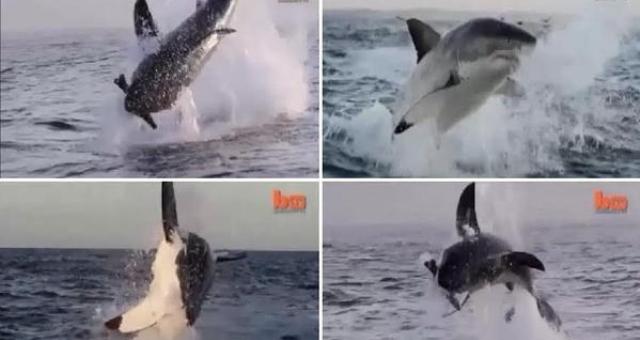 بالفيديو.. قرش أبيض يقدم استعراضات بسواحل جنوب أفريقيا!