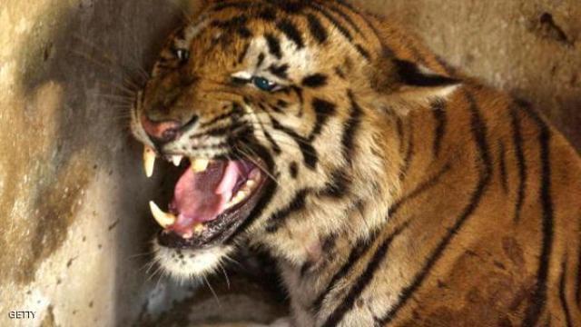السجن لرجل صيني.. يأكل النمور