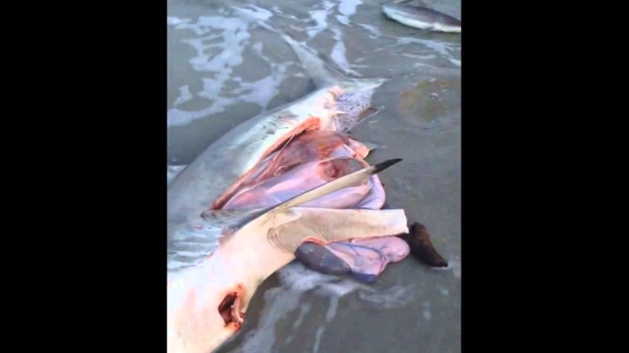 ولادة قيصريةلسمكة قرش ميتة