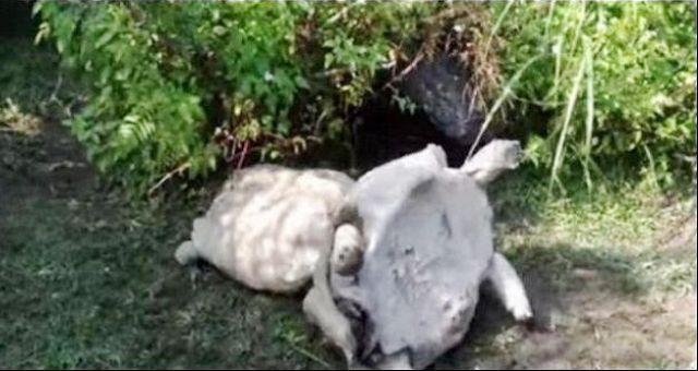 بالفيديو... مشهد مؤثر لسلحفاة تنقذ رفيقتها