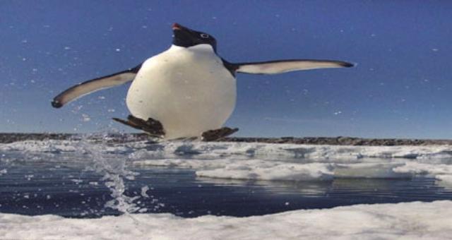 شاهد.. «طائر البطريق» وهو يطير