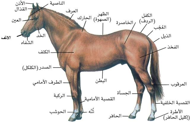 هل تعلم مواصفات الحصان العربي الأصيل؟