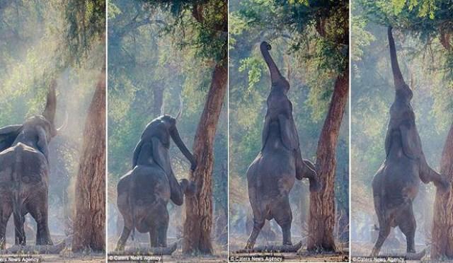 فيل يتحول إلى زرافة من شدة الجوع