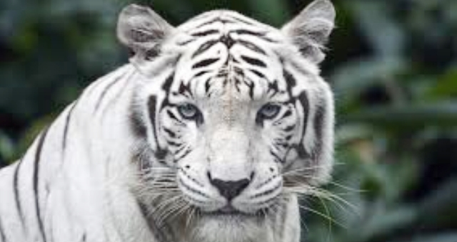 السجن 13 عاما لصيني.. يأكل النمور
