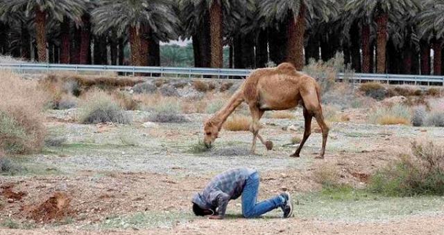 جمل فلسطين الساجد الأجمل في العالم