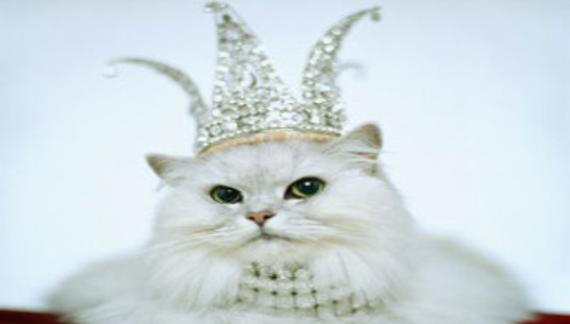 مسابقة لاختيار ملكة جمال القطط في الكويت