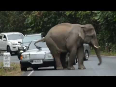 فيل يعترض سيارتين ويجلس فوقهما