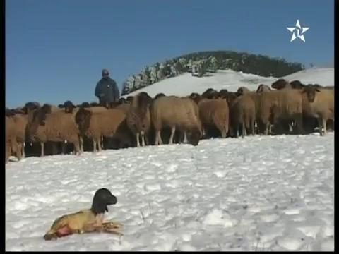 معاناة الرحل مع الثلوج في إيفران