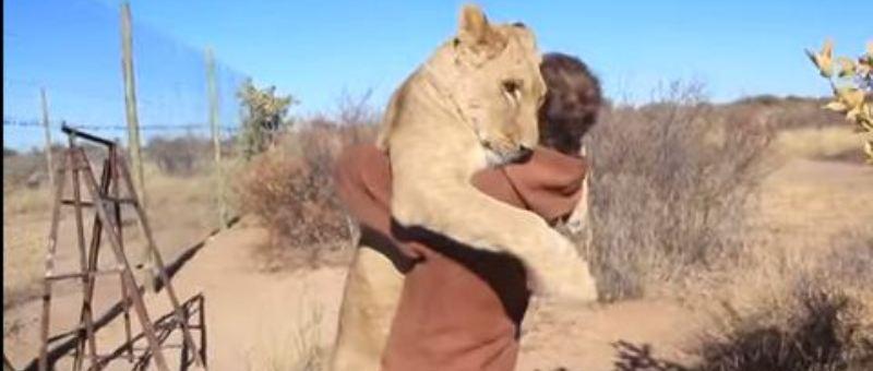 بالفيديو: لبؤة تحتضن رجلاً أنقذ حياتها