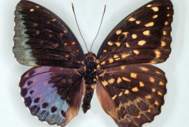 فراشة نادرة... نصفها ذكر والآخر أنثى!
