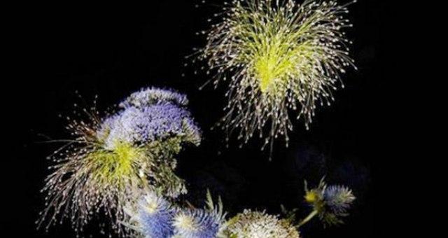زهور تشبه الألعاب النارية