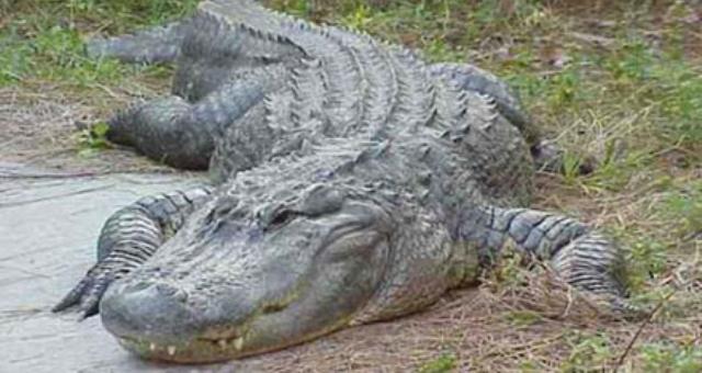 أوغندي يقتل تمساحاً انتقاماً من التهامه زوجته