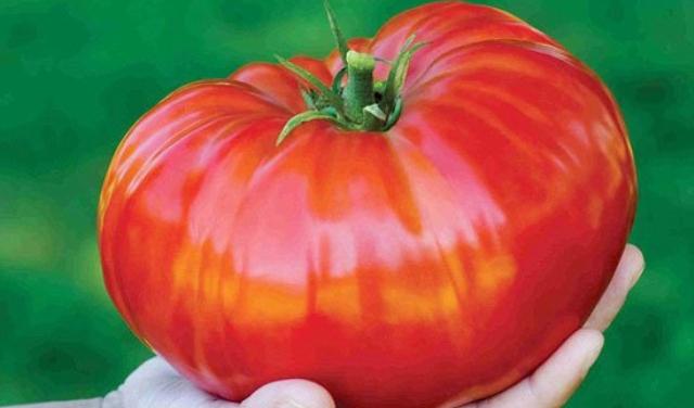 بالصور .. أكبر ثمرة طماطم في بريطانيا
