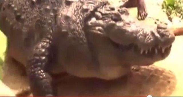 بالفيديو: الدجاج يقتل تمساحاً عمره 100 عام