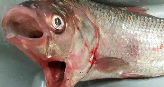 صياد يعثر على سمكة بفمين في أستراليا