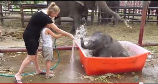بالفيديو.. طفلة تحاول أن تُحمم فيلاً صغيراً