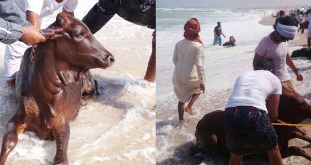 بالفيديو.. عمانيون يصطادون أبقاراً بدلاً من الأسماك