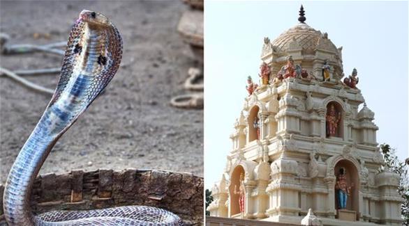 هندي يتزوج كوبرا بحضور 15 ألف مدعو