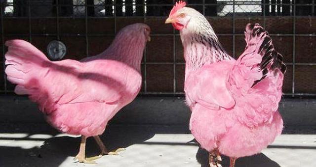 دجاجتان بلون وردي تثيران حيرة مدينة أمريكية