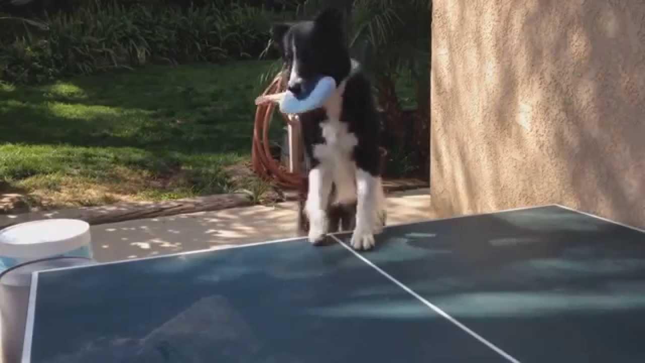 كلب يلعب ''البينغ بونغ