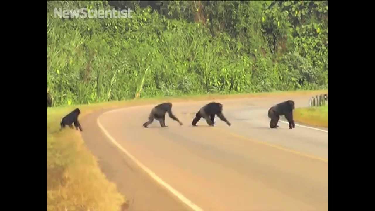 شاهد كيف تعبر القردة الطريق