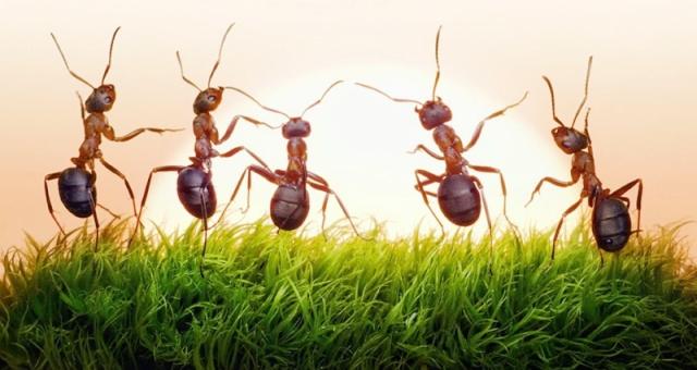 دراسة: النمل يعشق الوجبات السريعة!