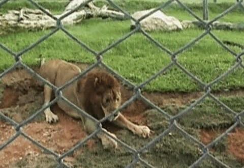 فيديو…أسد يمشى على العشب لأول مرة بعد 13 عاما