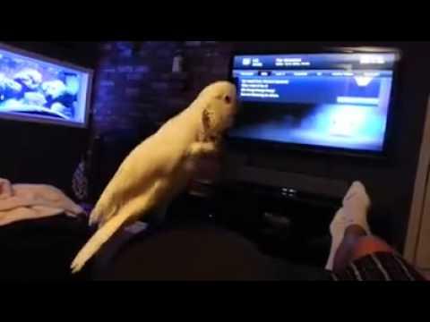 طائر محب لسماع موسيقى الراب