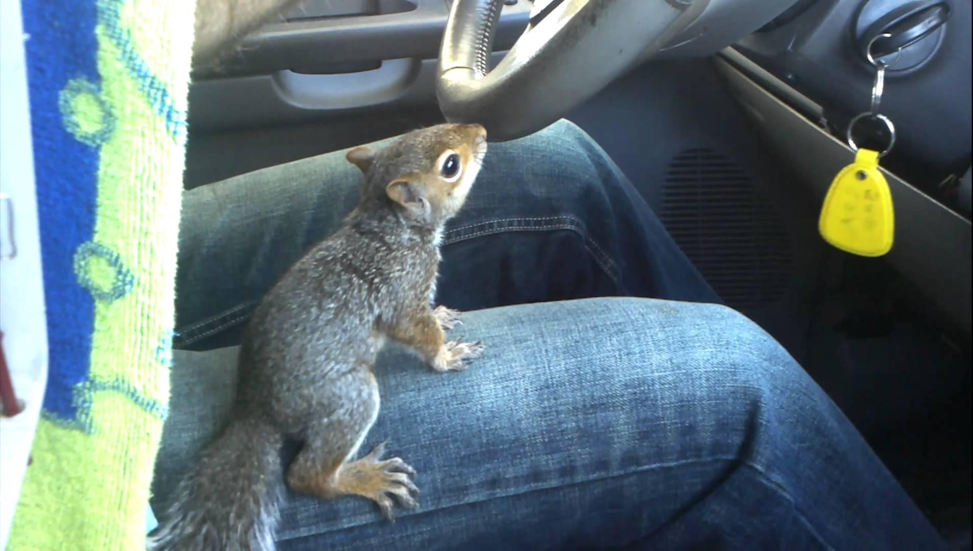 «سنجاب صغير» يشارك صاحبه في قيادة السيارة