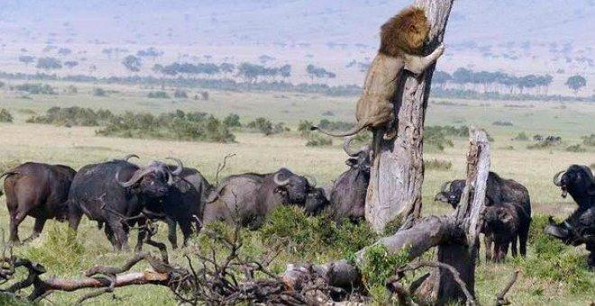بالصور.. أسد يتسلق شجرة للهروب من قطيع جاموس