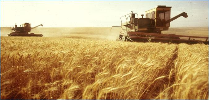 تونس.. مؤشرات موسم كارثي في إنتاج الحبوب