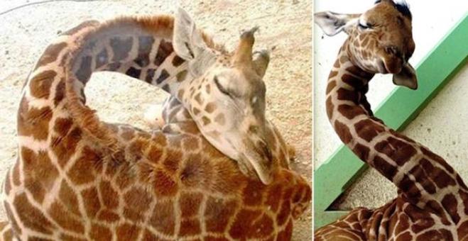 بالصور .. تعرف على أسرار نوم الزرافة
