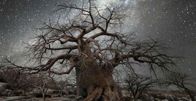 بالصور: أقدم الأشجار في العالم