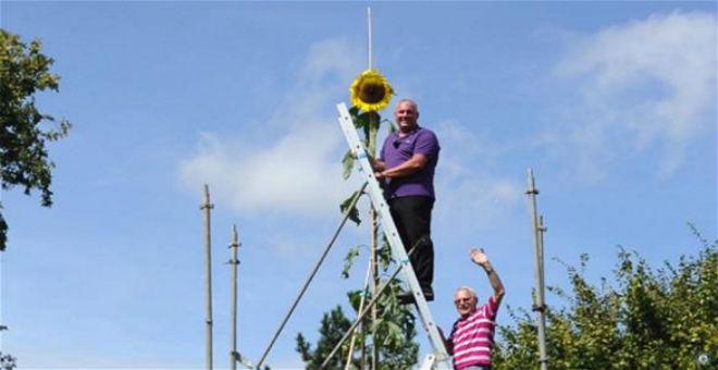 ألماني يزرع أطول نبتة دوار شمس في العالم