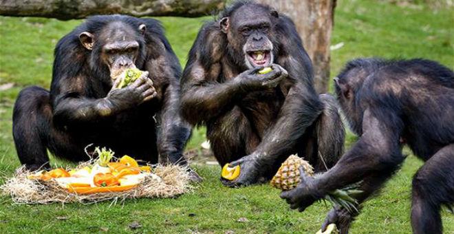 دراسة: قردة الشمبانزي تستطيع إعداد الطعام وطهيه