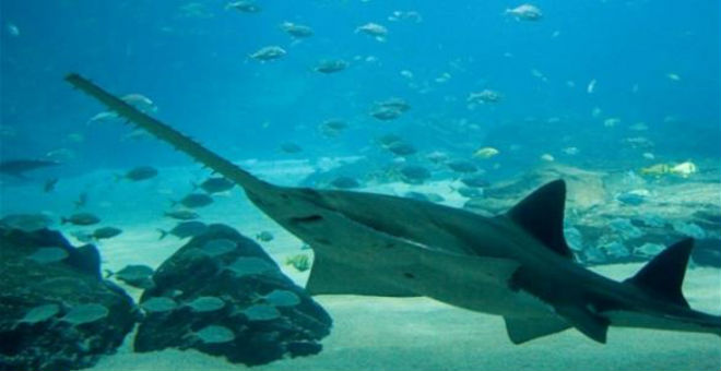 اكتشاف مجموعة من أسماك القرش تتكاثر دون تزاوج