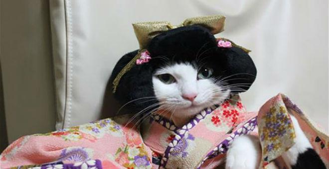 بالصور: قطط ترتدي الكيمونو .. أحدث موضة يابانية