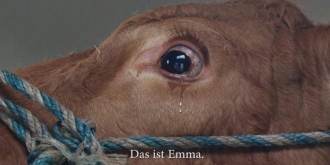 فيديو…بقرة تنجو من الذبح بسبب دموعها