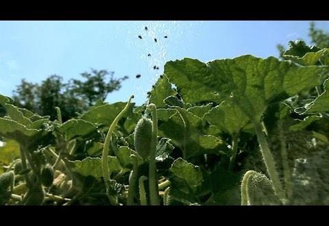 بالفيديو: نباتات تُفجر نفسها