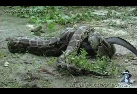 فيديو…تمساح يخدع أفعى ويلتهمها من الداخل