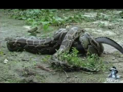 فيديو...تمساح يخدع أفعى ويلتهمها من الداخل